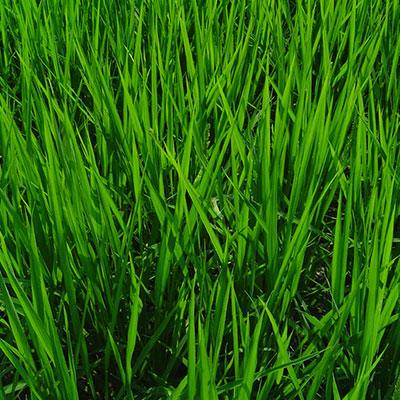地元奈良のお米