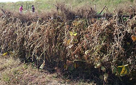 大豆の無農薬栽培