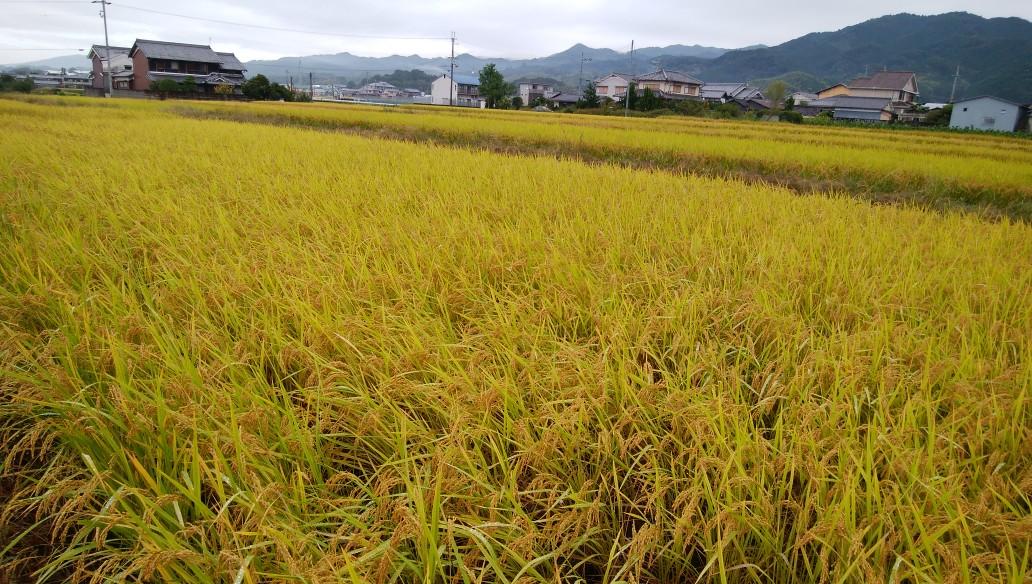 無農薬 稲作