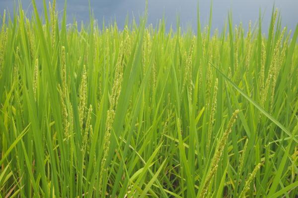 天理農園 無農薬・無化学肥料のお米作り 土壌微生物の働きで育てる農法