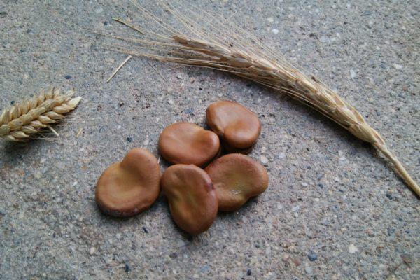 古代コムギ そら豆